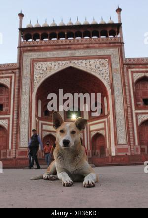 Dog in front of the entrance to the Taj Mahal, Agra, Uttar Pradesh, India, Asia - Stock Photo