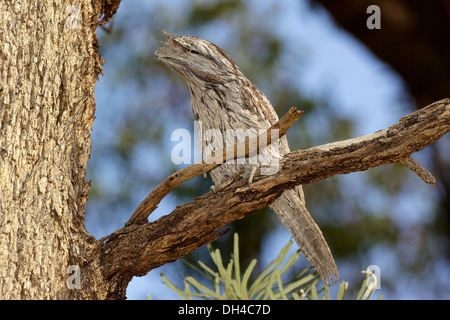 The Tawny Frogmouth (Podargus strigoides) is an Australian species of frogmouth. - Stock Photo