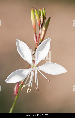 Gaura lindheimeri Whirling butterflies. Stem with single, white, open flower and cluster of buds. - Stock Photo