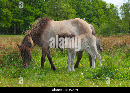 Foal and mare, Iceland horses - Stock Photo