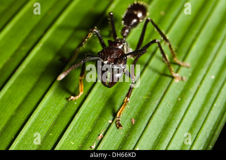 Lesser Giant Hunting Ant, Conga Ant or Bullet Ant (Paraponera clavata) in the lowland rainforest, Braulio Carrillo - Stock Photo