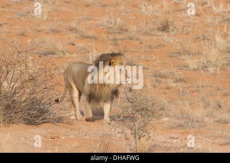Black-maned African Lion walking in the Kalahari desert, South Africa  (panthera leo) - Stock Photo