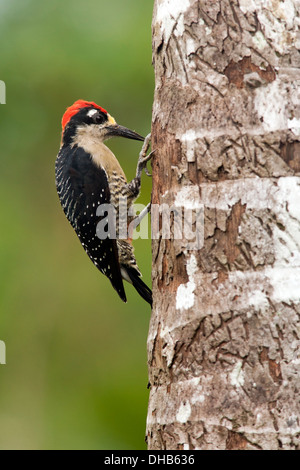 Black-cheeked Woodpecker - Boca Tapada, San Carlos, Costa Rica - Stock Photo