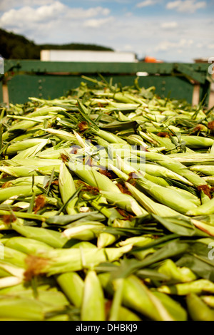 A trailer of harvested corn cobs, corn on the cob. Organic food ready for distribution. - Stock Photo