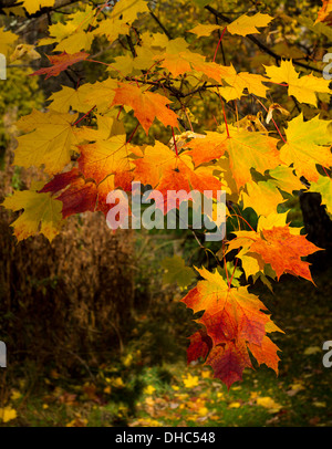 MAPLE [ACER] LEAVES AND SEEDS IN VIBRANT AUTUMNAL COLOURS - Stock Photo