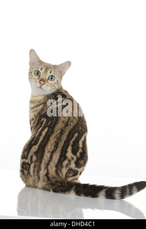 Bengal cat from behind - Stock Photo