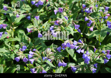 Narrow-leaved lungwort - Stock Photo
