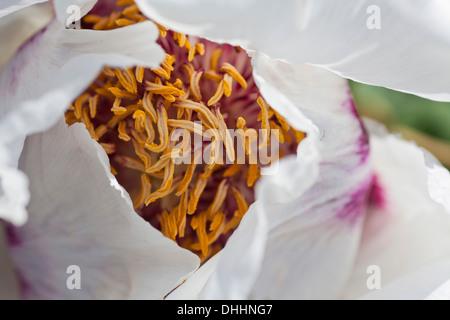 Close-up a peony flower, petals, stamen, Garden, Nature - Stock Photo