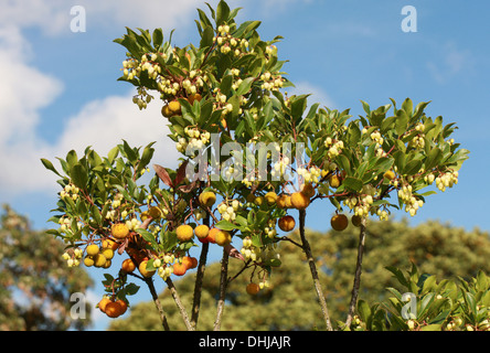 Strawberry Tree, Arbutus unedo 'Elfin King', Ericaceae. Flowers and Fruits. - Stock Photo