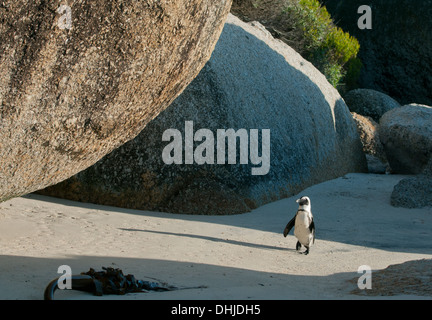 African Penguin (Spheniscus demersus) Wild, Boulders Beach, Cape Peninsula, South Africa ENDANGERED - Stock Photo
