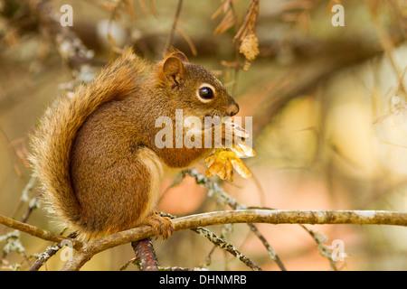 American red squirrel in autumn light(Tamiasciurus hudsonicus) - Stock Photo