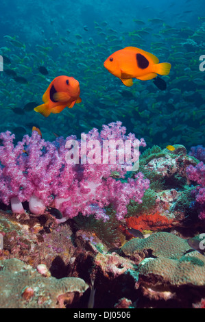 Red saddleback anemone fish swimming over soft corals with snappers in the background - Stock Photo