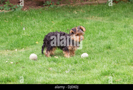 cute yorkshire terrier puppy dog in garden waiting to play ball - Stock Photo
