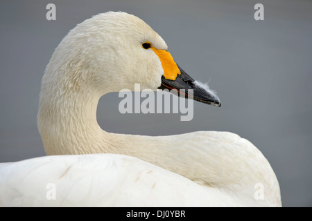 Bewick's Swan (Cygnus columbianus) close-up portrait of head and neck, Slimbridge, England, February - Stock Photo