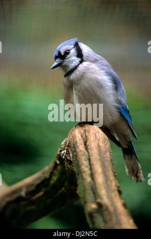 Blauhäher (Cyanocitta cristata), Blue Jay (Cyanocitta cristata) - Stock Photo