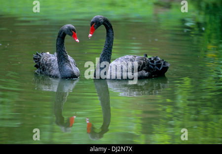 Black Swan, pair of swans, Trauerschwan (Cygnus atratus) Schwarzschwan - Stock Photo
