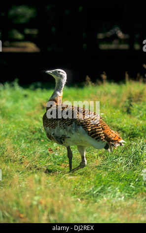 Great Bustard (Otis tarda), Großtrappe (Otis tarda) - Stock Photo