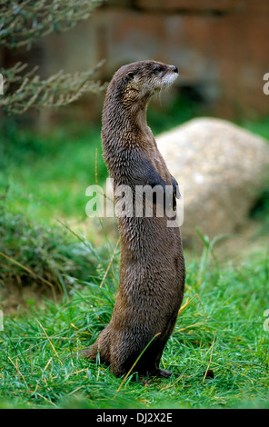 North American river otter (Lontra canadensis), northern river otter, common otter, kanadischer Fischotter stehend, - Stock Photo