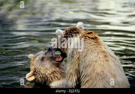 Syrian brown bear (Ursus arctos syriacus) struggling in the water, im Wasser kämpfend, Syrischer Braunbär - Stock Photo