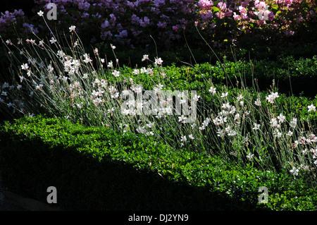 White gaura - Stock Photo