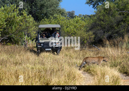 A leopard runs right in front of one of the 4x4 are used for safaris, camp near Khwai River Lodge by Orient Express - Stock Photo