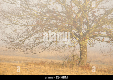 Horizontal portrait of lonely oak tree in mist frozen grass winter in Arjuzanx National Hunting and Wildlife Reserve. - Stock Photo