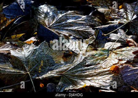 Maple leaves on the ground - Stock Photo