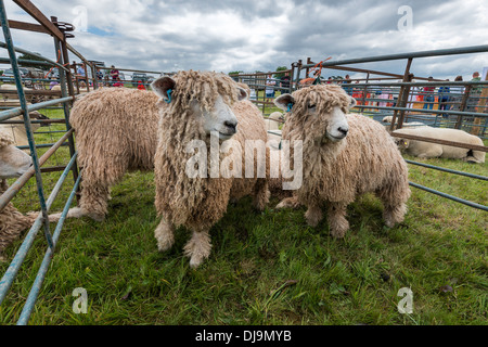 LINCOLN LONGWOOL SHEEP IN PEN AT AGRICULTURAL SHOW INCHEPSTOW WALES UK - Stock Photo