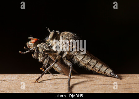 An Asilidae, robber or assassin fly feeding on another smaller fly - Stock Photo