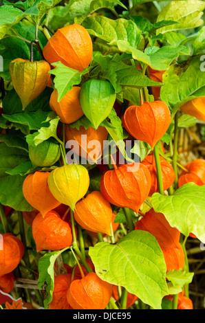 Chinese Lantern or winter cherry plants with orange lanterns - Stock Photo