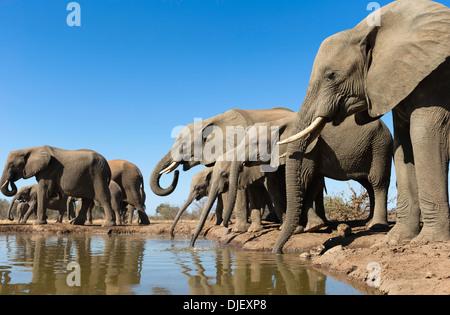 African elephant (Loxodonta africana) small group of elephants drinking at a waterhole in Mashatu game reserve.Botswana - Stock Photo