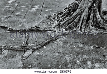 A Strangler fig's voraciously spreading roots break through the pavement, along the Rama III road in central Bangkok, - Stock Photo