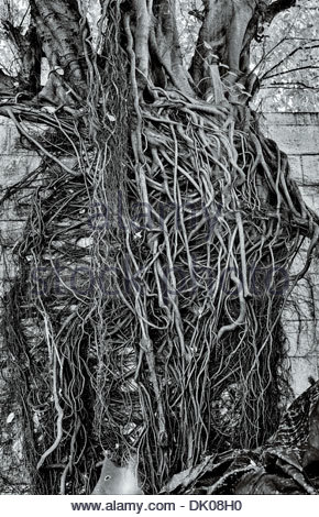 Detail of a strangler fig's voraciously spreading root system, on a sub-soi in the Klong Toei district of Bangkok, - Stock Photo