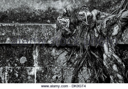 Detail of a strangler fig's voraciously spreading roots system, along the Rama III road in central Bangkok, Thailand. - Stock Photo