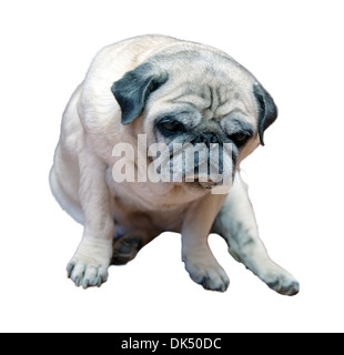 Pug, old, sitting in front of white background - Stock Photo