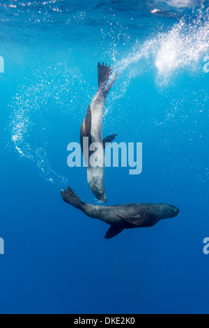 Chile, Diego Ramirez Island, Underwater view of Southern Sea Lions (Otaria flavescens) swimming in Drake Passage - Stock Photo