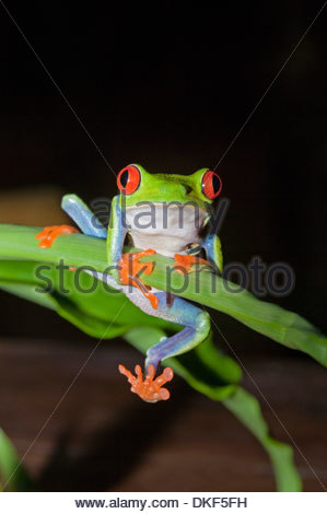 Red-eyed tree frog (Agalychnis Callidryas) holding onto stem, Costa Rica - Stock Photo