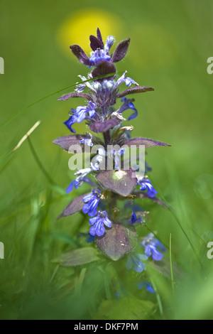 pyramidal bugle, ajuga pyramidalis - Stock Photo