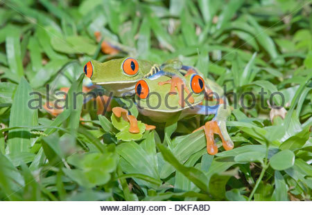 Red-eyed tree frogs (Agalychnis callidryas) on plants, Costa Rica - Stock Photo