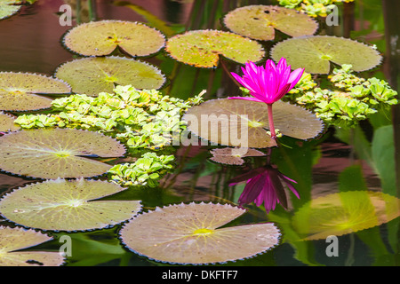 Water-lilies, Nymphaea spp, in Phnom Penh, along the Mekong River, Cambodia, Indochina, Southeast Asia, Asia - Stock Photo