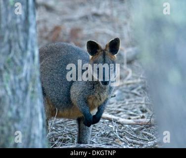 Swamp wallaby Wallabia bicolour  in the wild peering between tree trunks at Bournda National Park, NSW Australia - Stock Photo