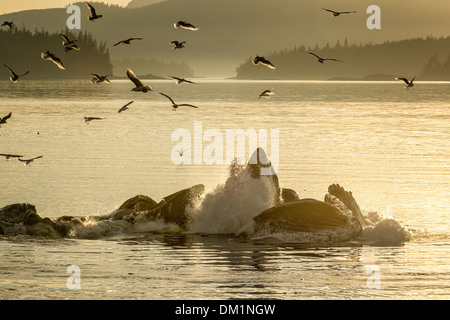 bubblenet feeding humpback whales Megaptera novaeangliae break the surface at sunset with birds flying overhead - Stock Photo