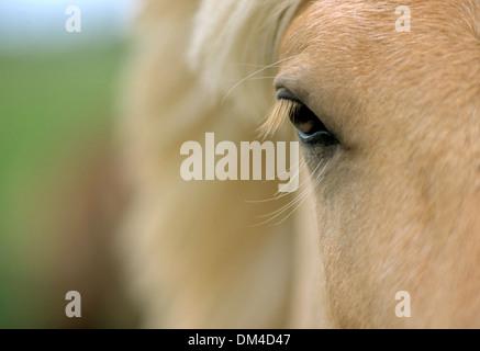 Icelandic horse, breed of horse, Islandpony Auge, - Stock Photo