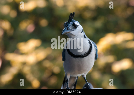 a Blue jay on the restaurant - Stock Photo