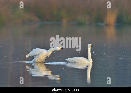 Bewick's Swans (Cygnus bewickii), Emsland, Lower Saxony, Germany - Stock Photo