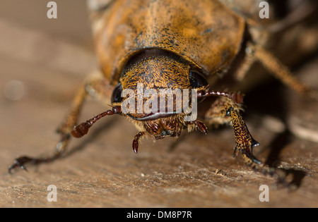 Close-up of a female coconut beetle crawling on the floor - Stock Photo