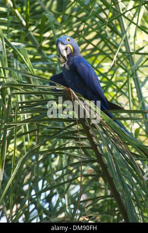 Hyacinth Macaw (Anodorhynchus hyacinthinus) feeding on a palm nut, The Pantanal, Mato Grosso, Brazil - Stock Photo