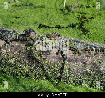Young Alligators Basking In The Sunlight - Stock Photo