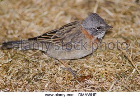 Rufous-collared Sparrow (Zonotrichia capensis) feeding on the ground. - Stock Photo