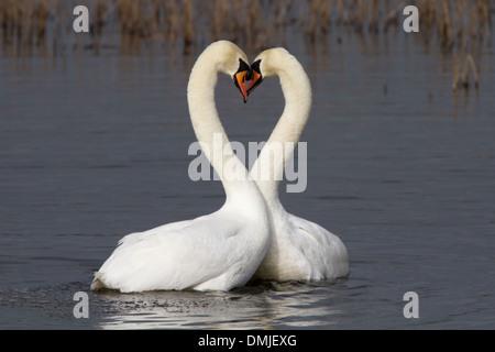 Swans in love make heart shape - Stock Photo